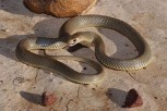 Australian Eastern Brown Snake